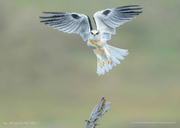 White-tailed Kite, California, USA