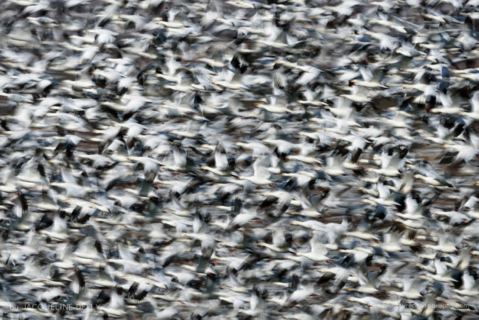 Snow Geese, New Mexico, USA