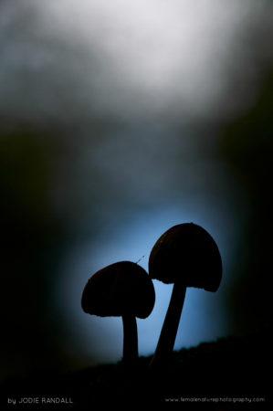 Glistening Ink Cap, Coprinus micaceus, New Forest, Hampshire, UK