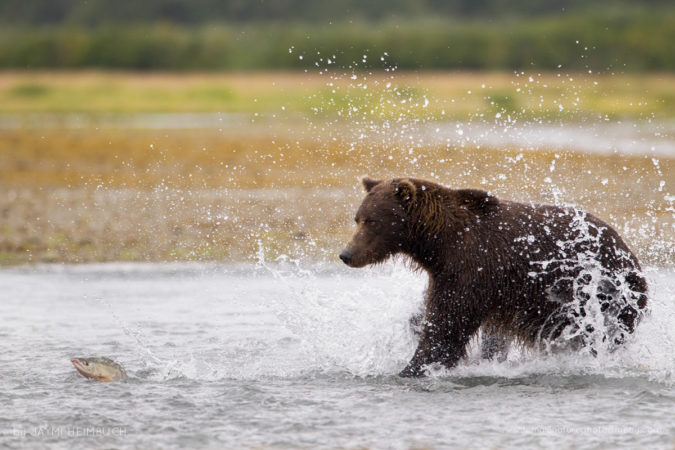 A  coastal brown bear runs through a stream about to catch a salmon leaping from the water.