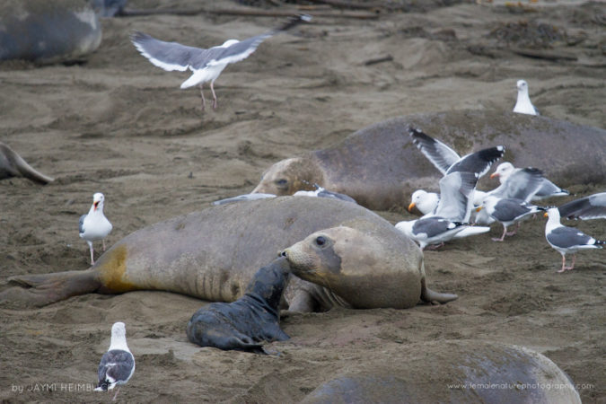 A female northern elephant seal greets her new pup, born just moments earlier, as gulls flock to feast on the afterbirth.