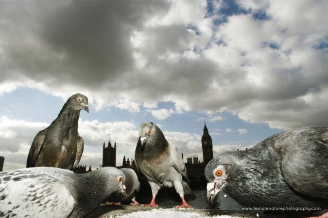 Feral pigeons feeding in front of the Houses of Parliament, London, UK