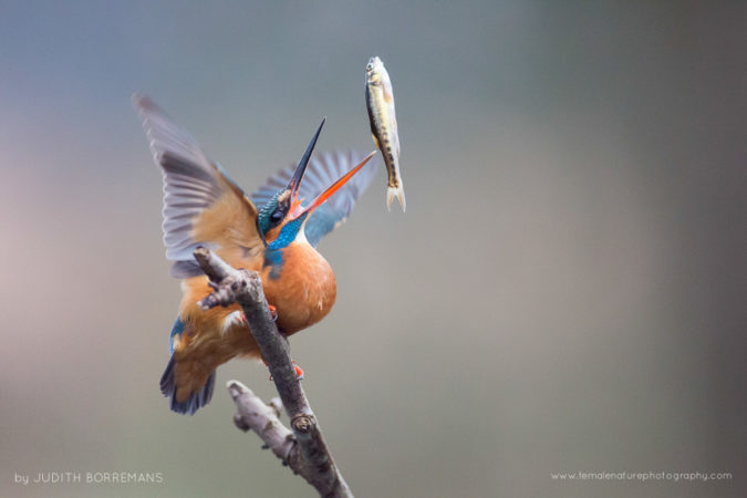 Kingfisher throwing up her fish
