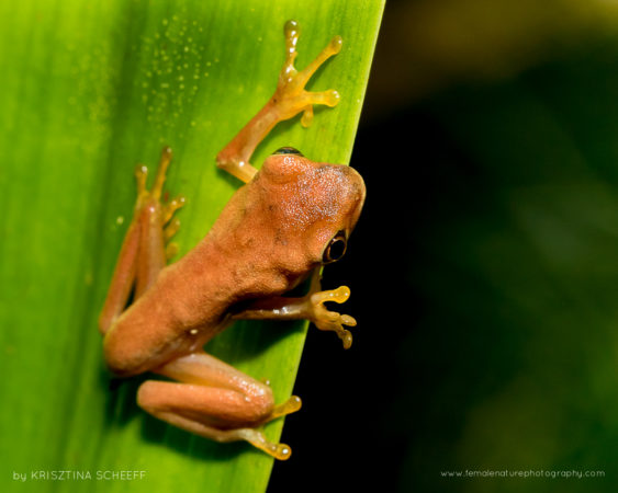Young Red eyed frog on Osa Peninsula Costa Rica