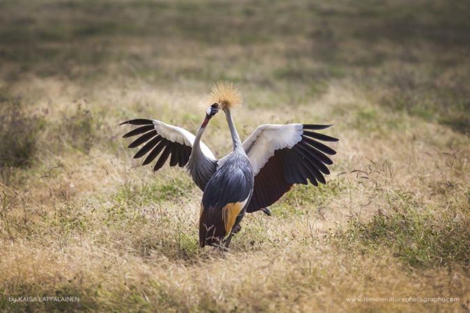 Crowned cranes sharing a dance in Tanzania