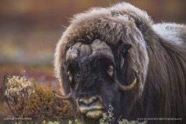 A lonely old musk ox bull wandering in the hills of Norway.