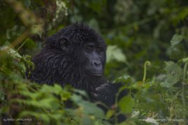 A young gorilla tries to keep itself warm during a light rain in Uganda