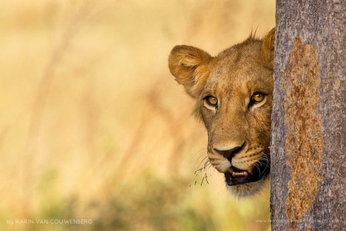 A shy lion is hiding behind a tree and keeping an eye on me.