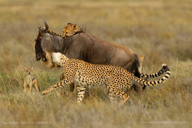 Two hungry Cheetah were killing an adult Wildebeest