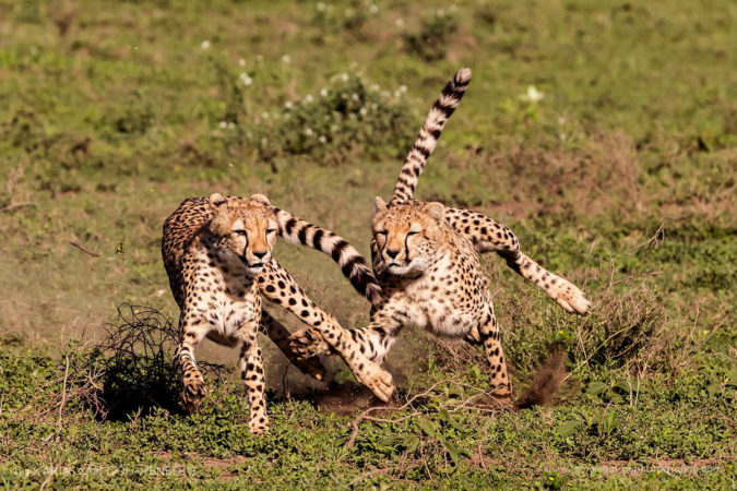 Two adolescent Cheetah practising their hunting techniques while playing.