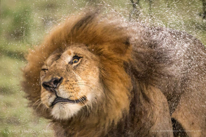 A beautiful male lion shaking his manes after the rainfall.