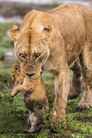 Lioness carrying her tiny cub to a safer area.