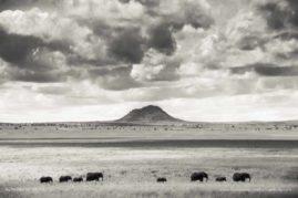 Elephants march to water in Tarangire national Park, Tanzania