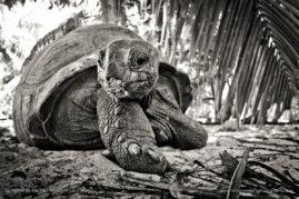 A giant aldabra tortoise looks on. Photographed on Denis island, Seychelles