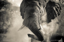 An Elephant in a mood. Photographed in Welgevoden in South Africa
