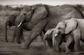 Elephants in the Pilanesberg, South Africa protecting their young
