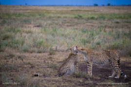 A Cheetah mother cleans her daughter after finishing a fresh meal