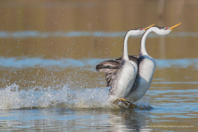 Western Grebes rushing on Lake Hodges