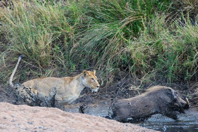The last mud bath -  Lioness chasing a Warthog boar across a muddy waterpan