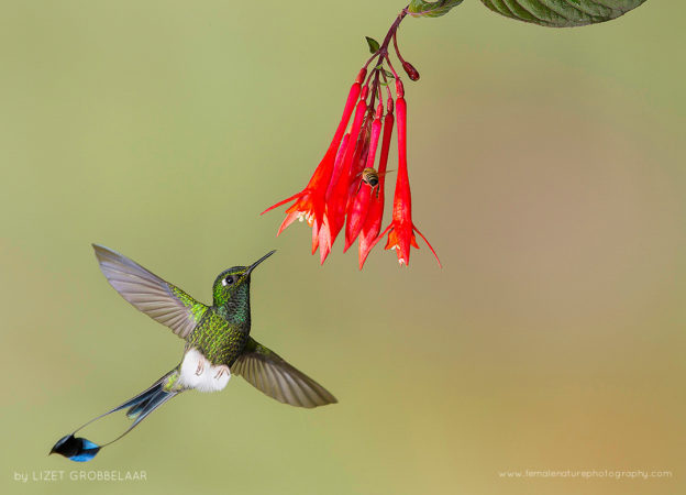 Male Booted Racket-tail Hummingbird The Booted Racket-Tail Hummingbird flashing his bright white boots