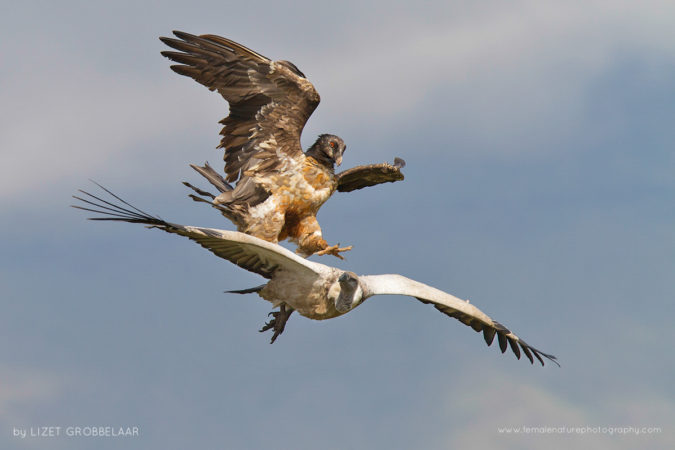 Immature Bearded Vulture attacking a Cape Vulture from above, as they compete for the same food source. Taken in the Giant's Castle Game Reserve,  South Africa