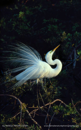 Great Egret in breeding plummage, Ardea alba