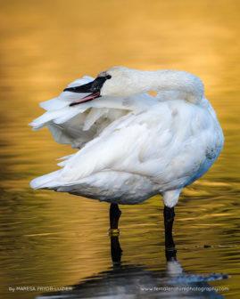 Trumpeter Swan preening, Cygnus buccinator, reintroduced to the             Yellowstone basin, Yellowstone NP, WY