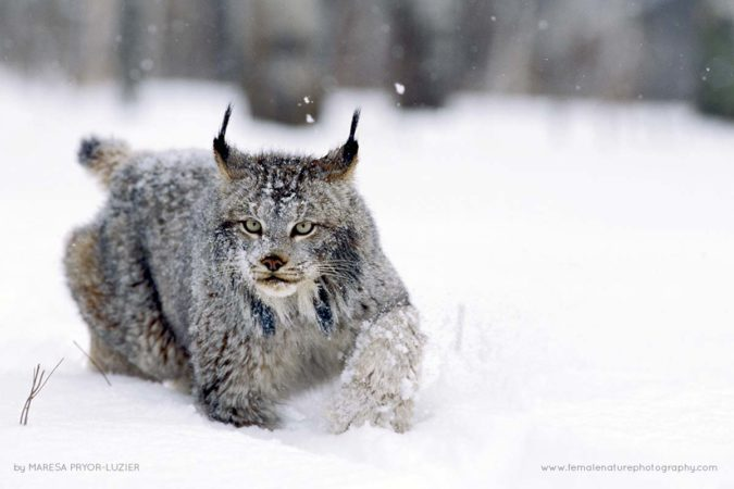 Canadian Lynx running in the snow, Lynx canadensis