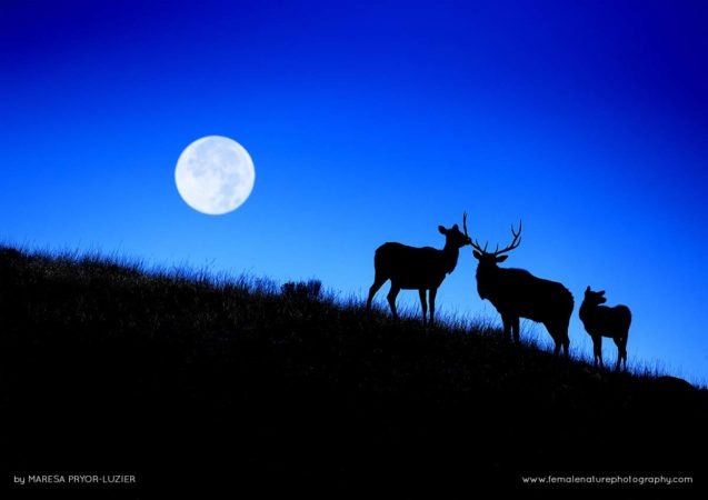Bull Elk herding cows during the Super moon, Yellowstone NP, Wyoming