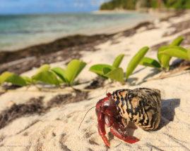 Caribbean hermit crab, Coenobita clypeatus, during migration on Pajaros             beach, Mona Island, Puerto Rico, USA