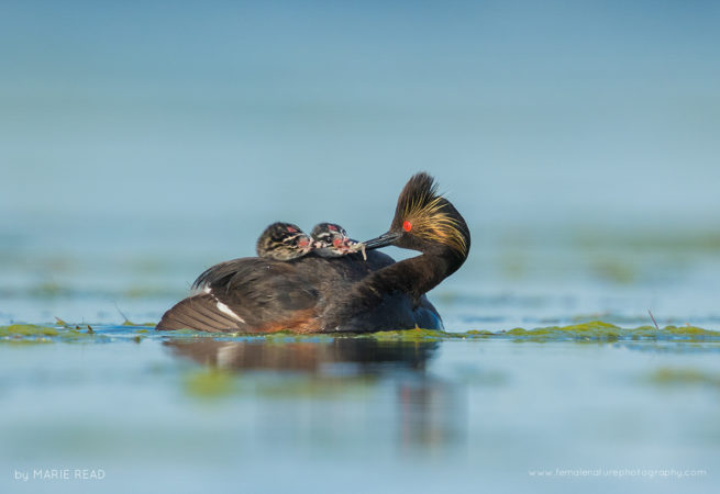 Eared Grebe feeds a damselfly nymph to one of two chicks riding on its back, Bowdoin National Wildlife Refuge, Montana, USA