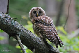 Barred Owl, Chenango Valley State Park, New York