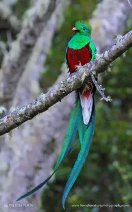 Resplendent Quetzal, San Gerardo de Dota, Costa Rica