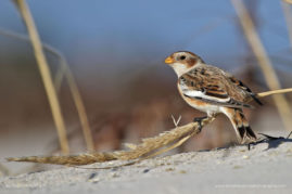 Snow Bunting, Barnegat Lighthouse State Park, New Jersey