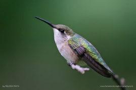 Ruby-throated Hummingbird, Vestal, New York