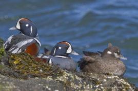 Harlequin Ducks, Barnegat Lighthouse State Park, New Jersey