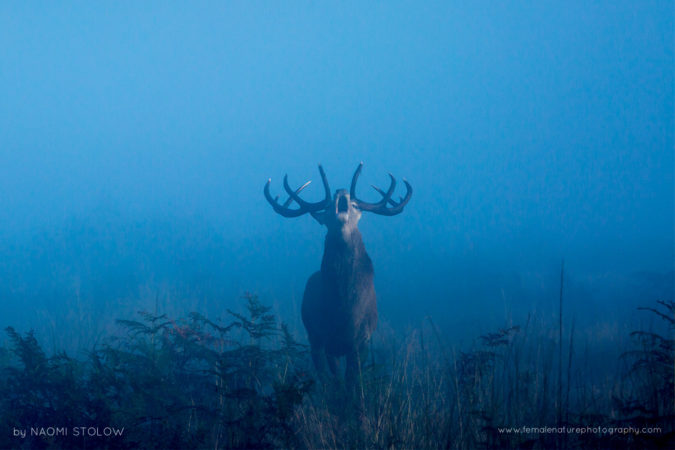 Bellowing stag in the rutting season