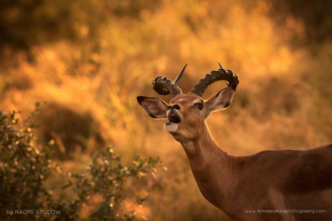 Portrait of an impala