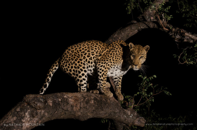 Leopard at Night - Perfectly framed on the tree branch this beautiful leopard stopped briefly and looked straight at us