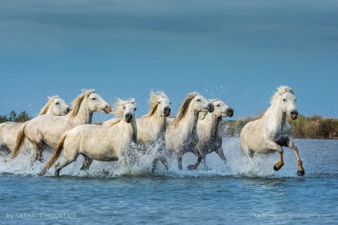 Wild horses of the Camargue - The iconic white horses of the Camargue
