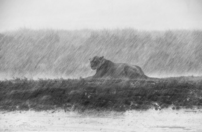Lioness in the rain - This lioness was caught in a very heavy downpour during the wet season in the Serengeti