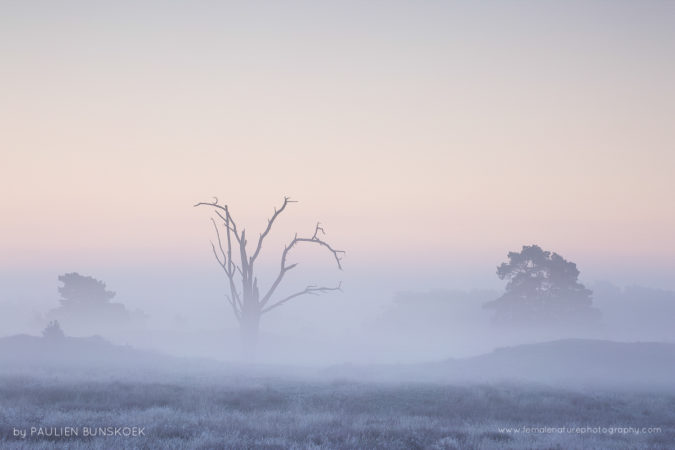 The dead tree - A dead tree rises from the fog, Veluwe, the Netherlands