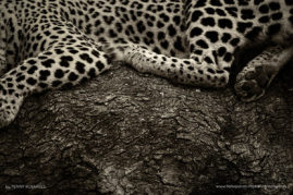 Londolozi Game Reserve, South Africa. Female Leopard. I couldn't help but be drawn to the different textures and patterns