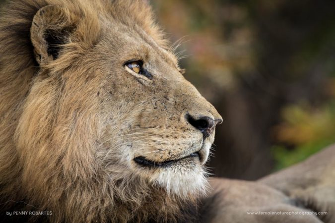 MalaMala Private Game Reserve, South Africa. Male Lion. He was just so exquisite, and the autumn colours of the background complimented him so well.