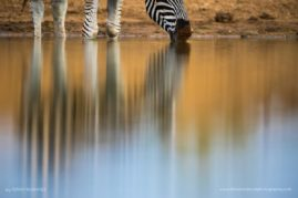 Jaci's Safari Lodge, South Africa. Zebra. This image became an exploration of light, colour and shape of a familiar subject.