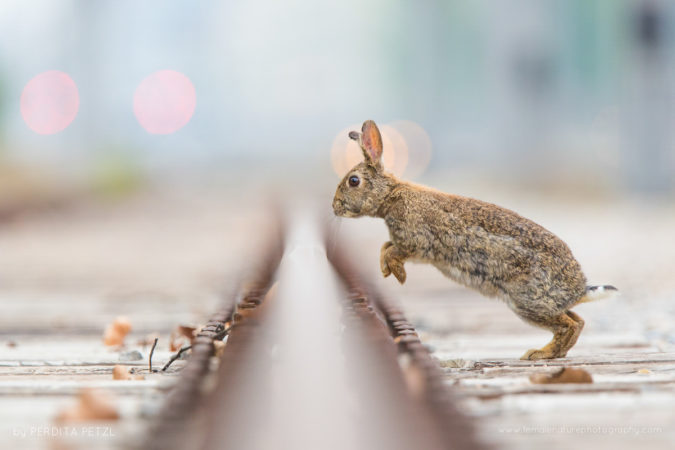An urban wild rabbit jumping over a railway track, Austria