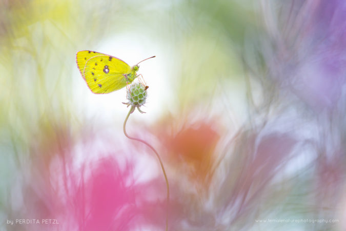 A Clouded Yellow in a beautiful blooming meadow, Austria