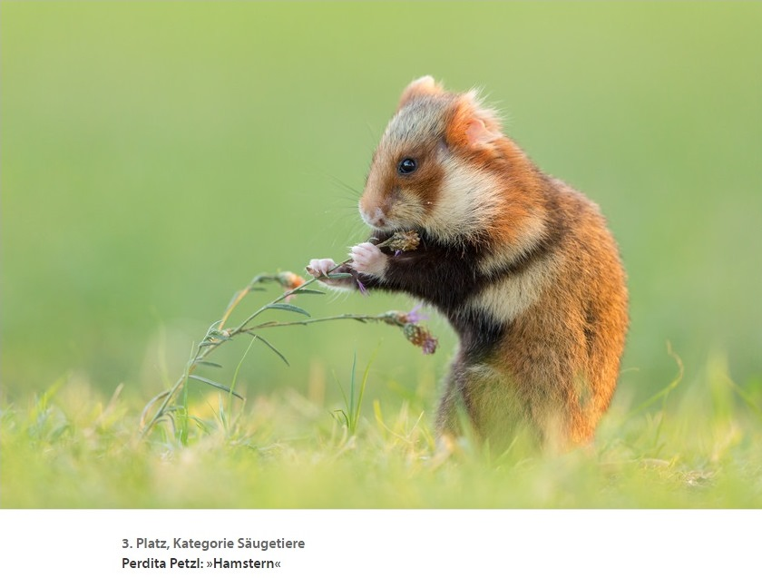 Perdita-Petzl-winning-hamster