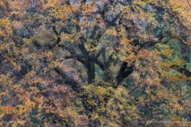 Autumn leaves coat a tree in Yosemite Valley