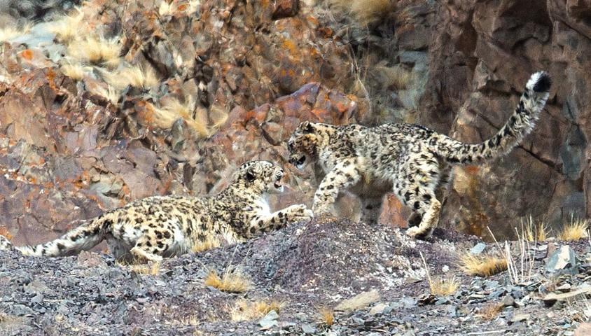 Snow-Leopard-Inger